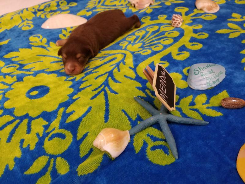 Shamrock Rose Aussies EXCITING NEWS 2 Litters WELCOME TO SHAMROCK ROSE AUSSIES All
