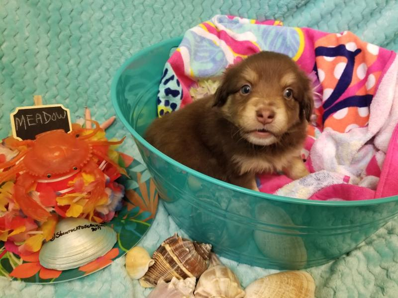 Shamrock Rose Aussies  Exciting News 2 Litters