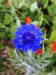first corn flower of Spring