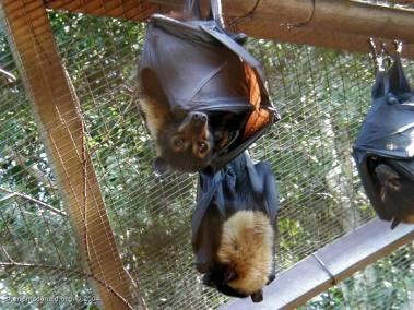 Fruit Bats, New South Wales, Australia These cute little Fruit Bats were in Wonderworld about an hour outside Sydney,