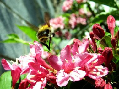 Experimental Bee & Flower, Kildare, Ireland