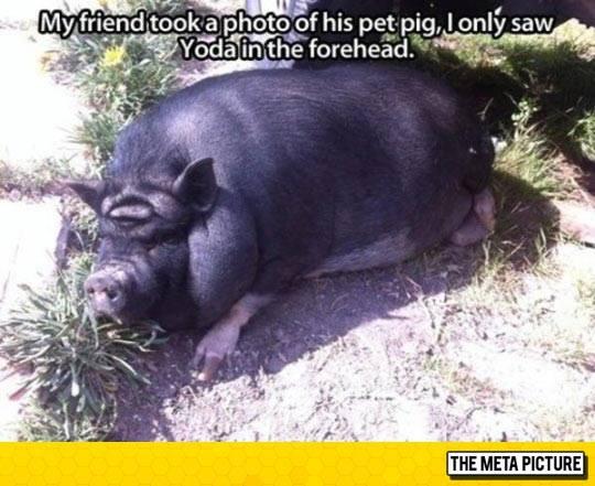 geek meme pig yoda