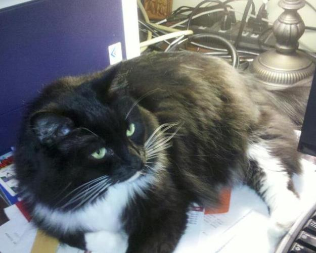 bonnie the cat lounging on computer desk