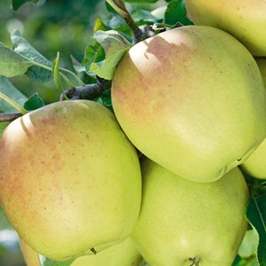 Apple-Golden-Delicious-Shaner-Avenue-Nursery