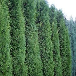 Arborvitae-Upright-Holmstrup-Shaner-Avenue-Nursery