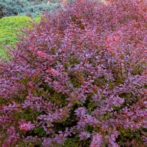 Barberry-Shaner-Avenue-Nursery