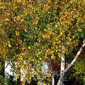 Birch-Tree-Whitespire-Shaner-Avenue-Nursery