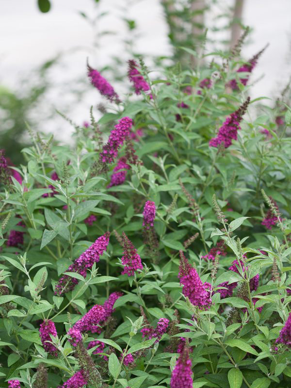 Butterfly-Bush-Miss-Molly-Shaner-Avenue-Nursery