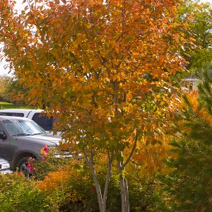 Serviceberry-Autumn-Brilliance-Fall-Shaner-Avenue-Nursery