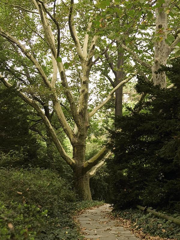 Sycamore-Tree-Shaner-Avenue-Nursery