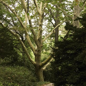Sycamore-Tree-Shaner-Avenue-Nursery