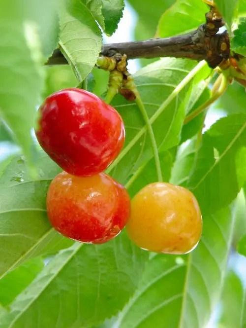 Ranier-Cherry-Tree-Shaner-Avenue-Nursery