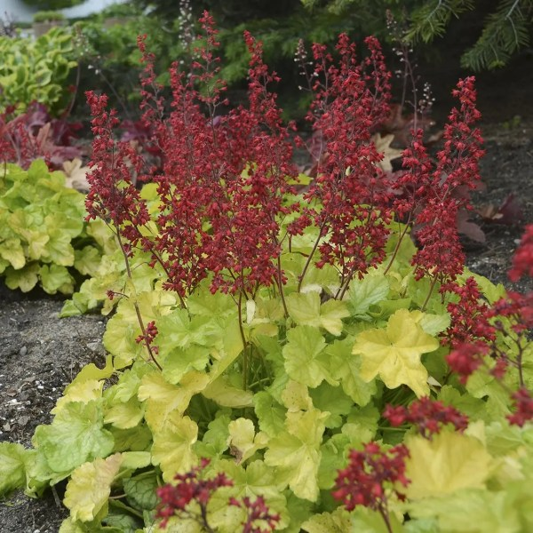 Coral Bells Appletini Shaner Avenue Nursery