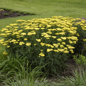Yarrow Sassy Summer Lemon Shaner Avenue Nursery