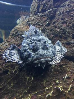 caro-rockfish