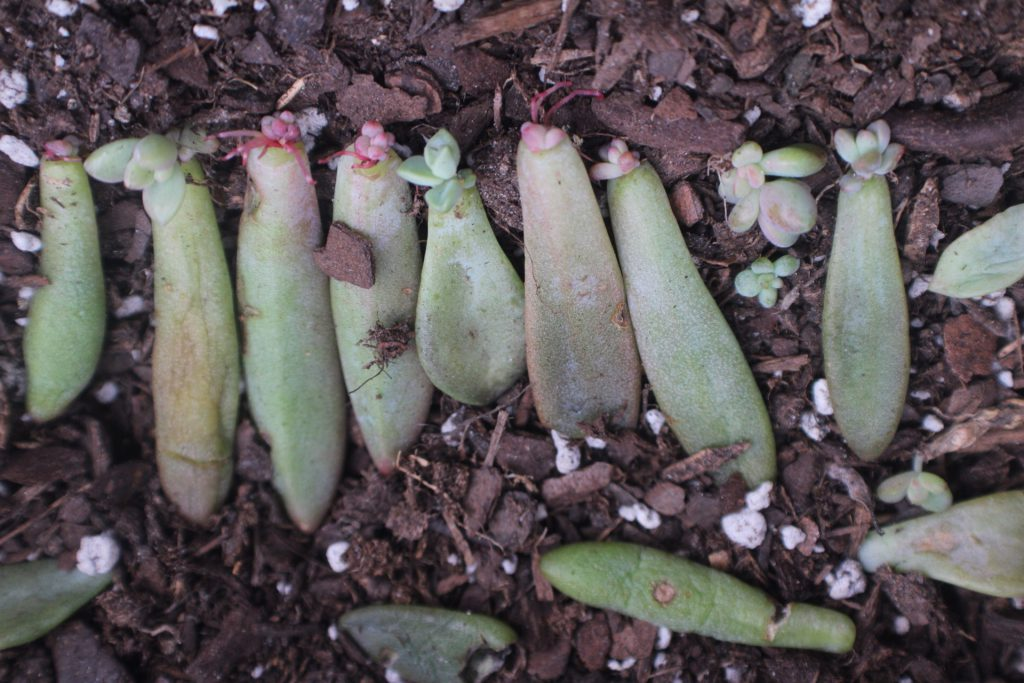 shanika Pichey, succulent propagation during the winter