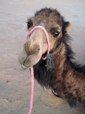 Camel Daisy