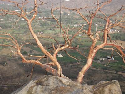 Tree over Pushkar