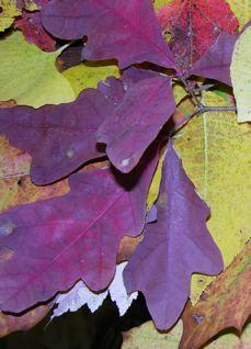 purple-leaves_2