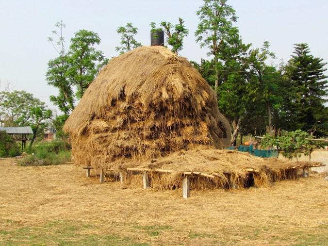 Rice stalks to feel elephants