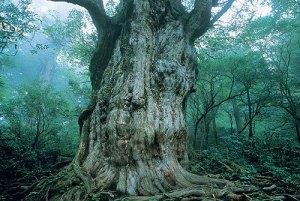 鹿児島 屋久杉