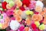 母の日にカーネーションを贈る由来とは?花の色の意味も紹介!