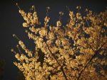 大阪で夜桜を見るなら?夜になるとライトアップされる人気スポット
