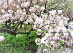 八重桜の名所!関西で有名なスポットは?