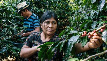 Agricultores recogiendo granos de café (Greg Kahn para USAID)