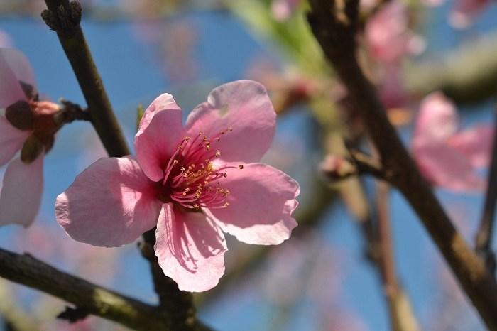 peach-blossom-3683899_960_720