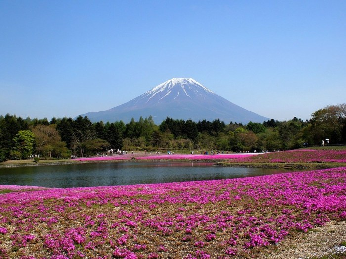 Mt Fuji Phlox Fuji