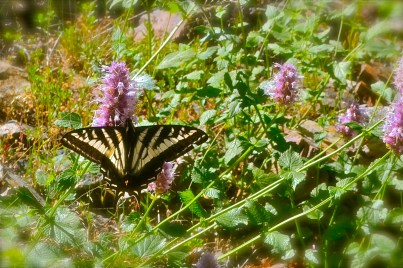 Swallowtail, seen on a hike