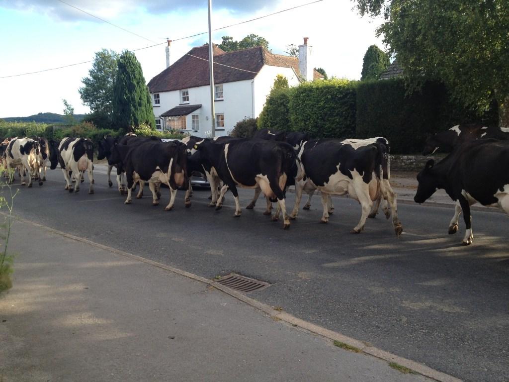 Cows in English village