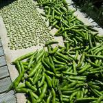 Broad beans in the sun