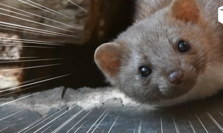 육식 동물 중에 가장 귀엽고 가장 안 유명한 동물은?