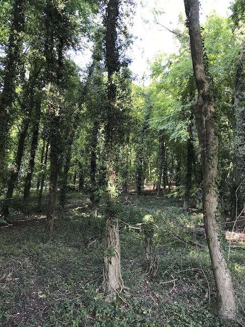 Beech trees of Sunley Wood