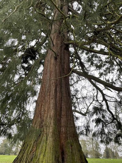 A redwood tree on the Eastcote House & 8 park walk
