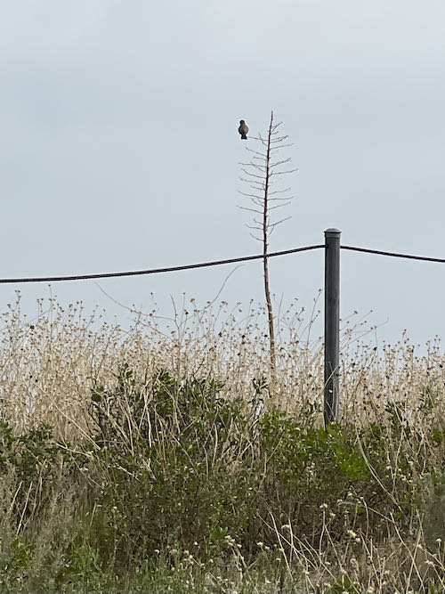 A mourning dove perches on the Porter Ranch Trail