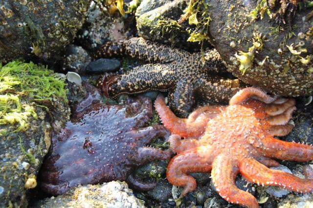 sea stars huddled between rocks