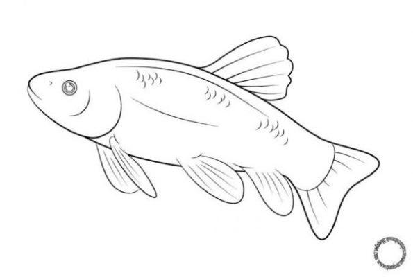 Sketsa Gambar Ikan Patin