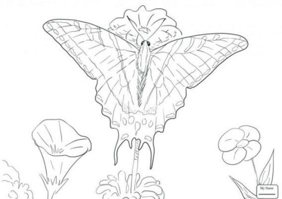 Sketsa Kupu-kupu Cantik