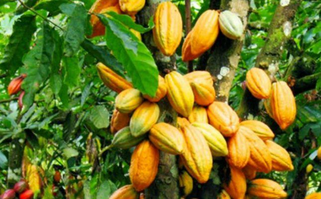 Cara Budidaya Kakao Untuk Pemula