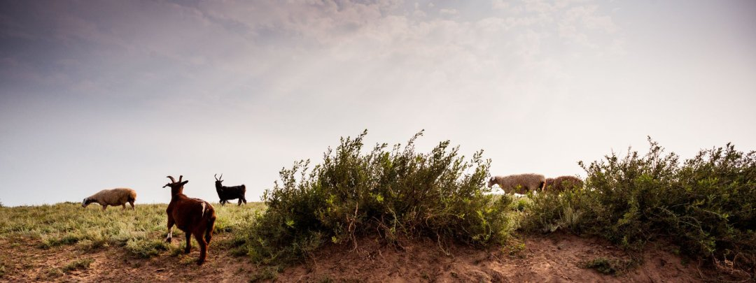 Goats grazing on the plains near Sukbaatar, Mongolia