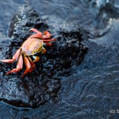 Crab - Galapagos Islands