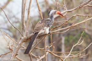 Red billed horn bill