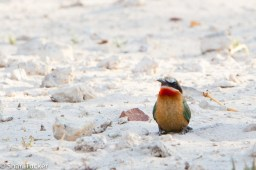 White fronted bee eater