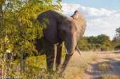 Elephant in Hwange National Park