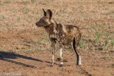 Wild dog at Mana Pools
