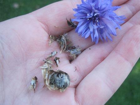 bachelors button seeds