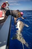 Oceanic whitetip off Cat Island, Bahamas. Photo courtesy of Andy Mann.